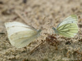 Grünader-Weißling (Pieris napi), in Gesellschaft des Kleinen Kohlweißlings (Pieris rapae) - DE (NI)
