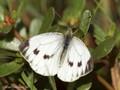 Grünader-Weißling (Pieris napi), Weibchen - DE (NI)