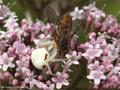 Veränderliche Krabbenspinne (Misumena vatia), Weibchen mit erbeuteter Schwebfliege (Syrphidae) - CH (Obwalden)
