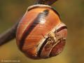 Braune Krabbenspinne (Xysticus cristatus) - DE (SH)