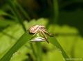 Sumpfkrabbenspinne (Xysticus erraticus), Weibchen mit versponnenem Eikokon- DE (SH)