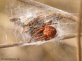 Körbchenspinne (Agalenatea redii), Weibchen - DE (HH)