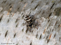Zebraspinne (Salticus scenius) - DE (MV)