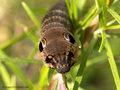 Mittlerer Weinschwärmer (Deilephila elpenor), erwachsene Raupe - DE (HH)