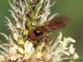 Glänzende Schwarzkopf-Schwebfliege (Melanostoma mellinum), Männchen - DE (SH)