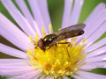 Glänzende Schwarzkopf-Schwebfliege (Melanostoma mellinum), Männchen - DE (HH)