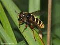 Gelbband-Torfschwebfliege, Große Torf-Schwebfliege (Sericomyia silentis), Männchen - SE (Hallands län)