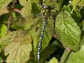 Blaugrüne Mosaikjungfer (Aeshna cyanea), Männchen - DE (MV)