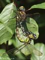 Blaugrüne Mosaikjungfer (Aeshna cyanea), Weibchen - Fehlpaarung mit einem Männchen der Torf-Mosaikjungfer (Aeshna juncea) - DE (SH)