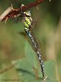 Blaugrüne Mosaikjungfer (Aeshna cyanea), Männchen - DE (SH)
