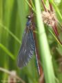 Blauflügel- Prachtlibelle (Calopteryx virgo), frisch geschlüpftes, unausgefärbtes Männchen - DE (MV)