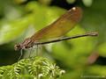 Blauflügel- Prachtlibelle (Calopteryx virgo), Weibchen - FR (Korsika, Balagne)