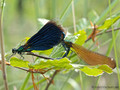 Blauflügel- Prachtlibelle (Calopteryx virgo), Paarungsrad - DE (MV)