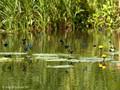 Blauflügel- Prachtlibelle (Calopteryx virgo), Männchen - DE (MV)