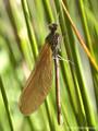 Blauflügel- Prachtlibelle (Calopteryx virgo), frisch geschlüpftes, unausgefärbtes Weibchen - DE (MV)