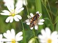 Helle Sumpfschwebfliege (Helophilus hybridus), Weibchen - DE (MV)
