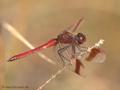 Gebänderte Heidelibelle (Sympetrum pedemontanum), Männchen - DE (NI)