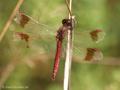 Gebänderte Heidelibelle (Sympetrum pedemontanum), abgeflogenes Männchen - DE (NI)