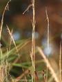 Gebänderte Heidelibelle (Sympetrum pedemontanum), Weibchen oben, Männchen unten - DE (NI)