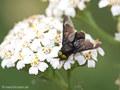 Gemeine Blindbremse (Chrysops caecutiens), Männchen - DE (MV)