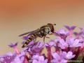 Gemeine Winterschwebfliege, Hain-Schwebfliege (Episyrphus balteatus), Weibchen - DE (MV)