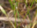 Südliche Binsenjungfer (Lestes barbarus), Männchen - DE (SH)