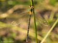 Südliche Binsenjungfer (Lestes barbarus), Weibchen - DE (MV)