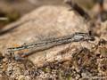 Gemeine Becherjungfer (Enallagma cyathigerum), Weibchen - DE (SH)