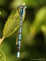 Gemeine Becherjungfer (Enallagma cyathigerum), Männchen - DE (HH)