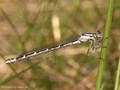 Gemeine Becherjungfer (Enallagma cyathigerum), Weibchen - DE (HH)