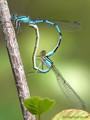 Gemeine Becherjungfer (Enallagma cyathigerum), Paarungsrad - DE (SH)