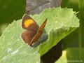 Nierenfleck-Zipfelfalter (Thecla betulae), Weibchen - DE (HH)
