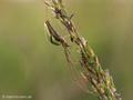 Gemeine Streckerspinne (Tetragnatha extensa), Weibchen - DE (SH)