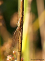 Gemeine Streckerspinne (Tetragnatha extensa), Weibchen - DE (HH)