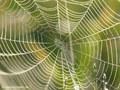 Netz der Gemeinen Streckerspinne (Tetragnatha extensa) - DE MV
