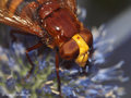 Große Waldschwebfliege, Hornissenschwebfliege (Volucella zonaria), Weibchen - DE (HH)