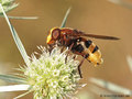 Große Waldschwebfliege, Hornissenschwebfliege (Volucella zonaria), Weibchen - DE (MV)