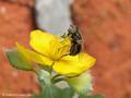 Glänzende Faulschlammschwebfliege (Eristalinus aeneus), Weibchen - DE (MV)