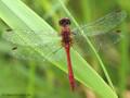 Blutrote Heidelibelle (Sympetrum sanguineum), Männchen - DE (NI)