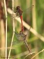 Blutrote Heidelibelle (Sympetrum sanguineum), Paarung - DE (NI)
