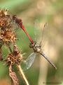 """Blutrote Heidelibelle (Sympetrum sanguineum), """"verdrehte"""" Paarung - DE (ST)"""