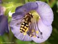 Gemeine Feldschwebfliege (Eupeodes corollae), Männchen - DE (MV)