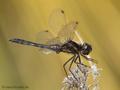 Schwarze Heidelibelle (Sympetrum danae), Männchen - DE (HH)