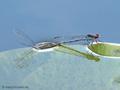 Großes Granatauge (Erythromma najas), Paar bei der Eiablage - DE (ST)