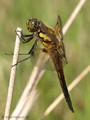 Vierfleck (Libellula quadrimaculata), Männchen - DE (MV)