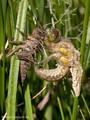 Vierfleck (Libellula quadrimaculata), Männchen beim Schlupf - DE (MV)