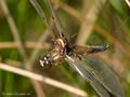 Vierfleck (Libellula quadrimaculata), als Beute der Schilfradspinne (Larinioides cornutus) - DE (MV)