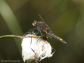 Große Moosjungfer (Leucorrhinia pectoralis), Männchen - DE (SH)