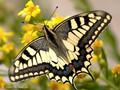 Schwalbenschwanz (Papilio machaon) - FR (Korsika, Balagne)