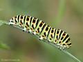 Schwalbenschwanz (Papilio machaon), Raupe - DE (NI)